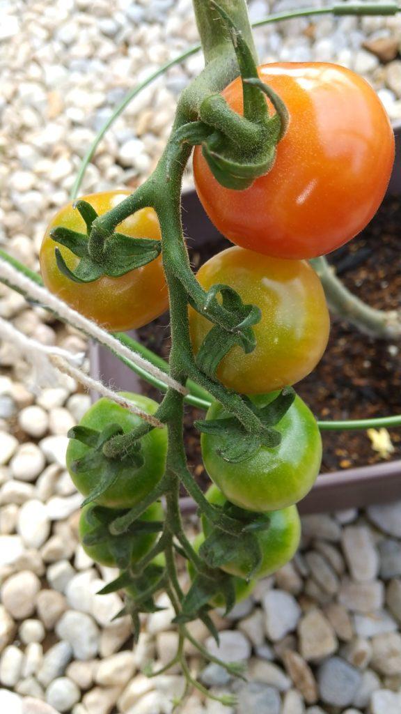 ミニトマト①