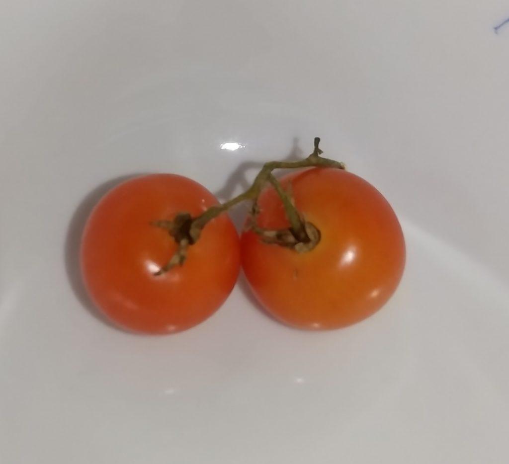 ミニトマト⑤